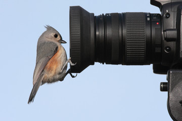 Tufted Titmouse (baeolophus bicolor) on a camera lens