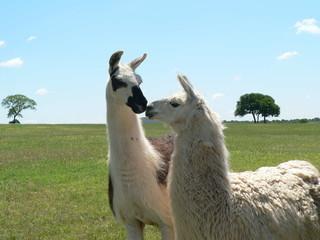 Kissing Llamas