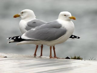 Male Seagulls