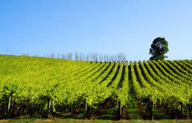 Fototapete - Rolling Vines