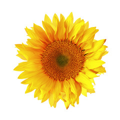 Isolated Single Sunflower on White