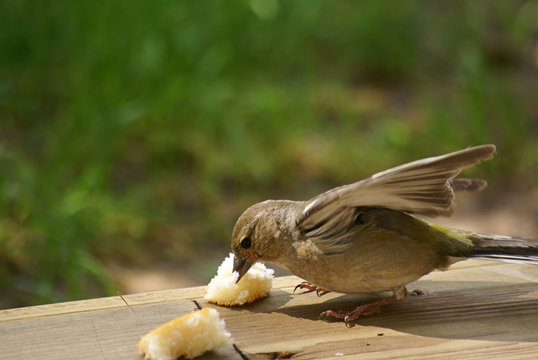 White throated sparrow eating bread