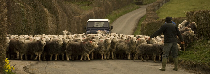 sheep herding