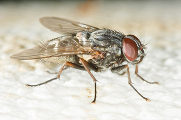 Very detailed close up of housefly