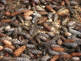 Carpet of pine cones