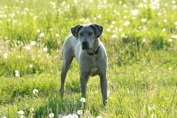 Dogge 1