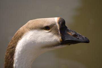 A wild goose. Portrait