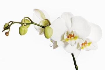 Aluminium Prints Orchid Weisse Orchidee
