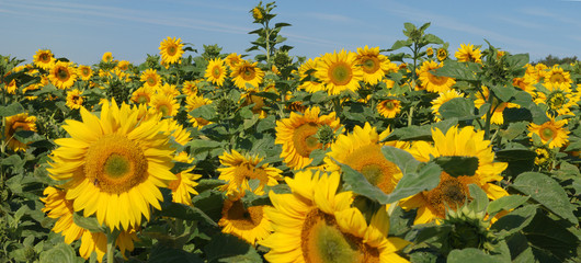 Sonnenblumen #5