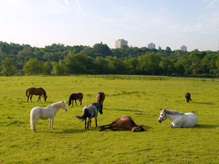 Sleeping Horses in Green Field