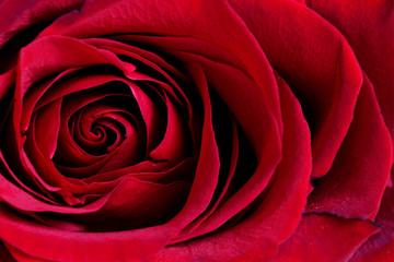 red rose - macro