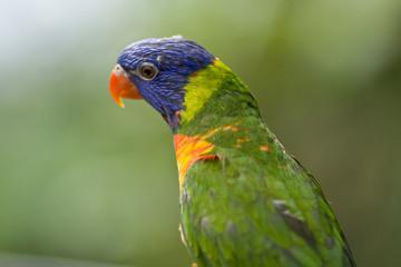 Head of Parrot