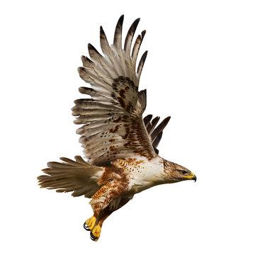 Isolated hawk in flight