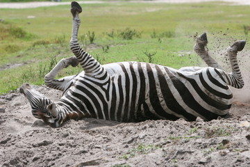 ZEBRA IN THE DIRT