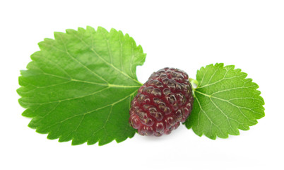 Mulberry morus with leaves