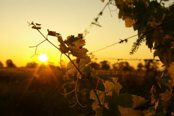 Foto auf Leinwand Weinberg The morning in a vineyard