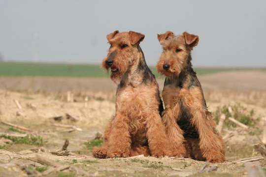 chien Welsh terrier gallois