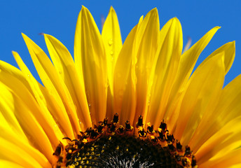 close up shot of bright sunflower with dew drops