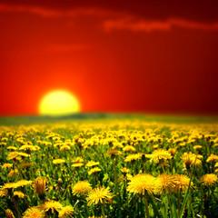 In de dag Rood traf. sunrise on dandelion field
