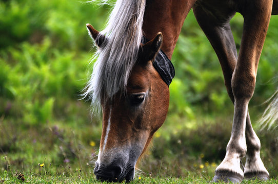 New Forest Pony