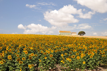 Sunflower field farm