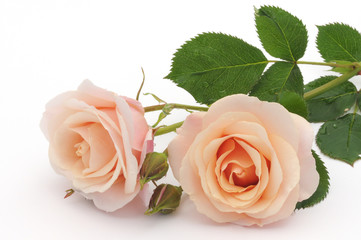 Peach color rose isolated on white background