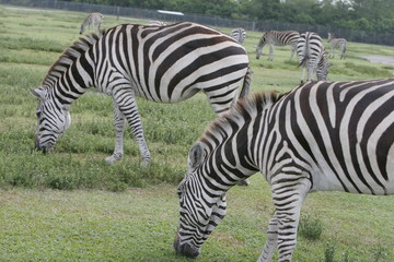 zebras eating