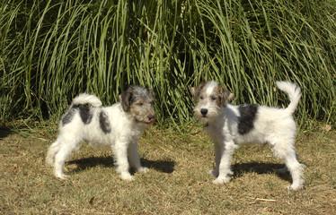 deux chiots Fox terrier poil dur