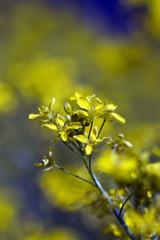 Spoed Foto op Canvas Olijfboom Rape oilseed flower