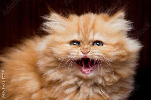 house cat that has leopard spots