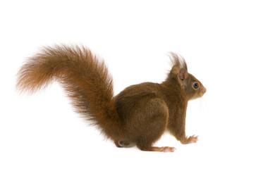 Fotobehang Eekhoorn Eurasian red squirrel - Sciurus vulgaris (2 years)