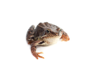 One frog on a white background