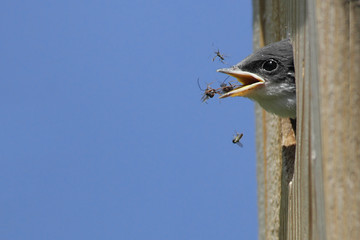 Fotoväggar - Hungry Baby Tree Swallow (tachycineta bicolor)