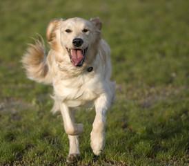 golden retriever running towards viewer