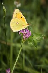 Farfalla gialla sul fiore