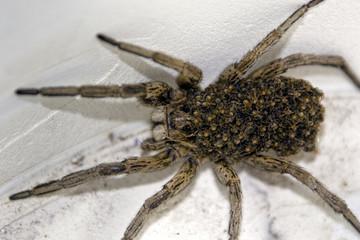 Female Huntsman Spider ( (Isopeda Isopedella) with young