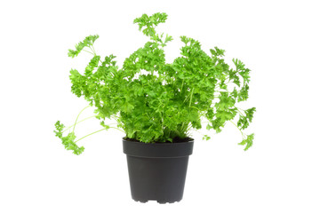 Flowerpot with parsley.