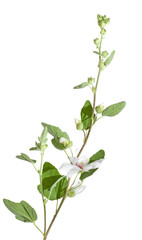lavatera, flowering branch, isolated on white