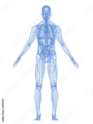 anatomie des menschen\