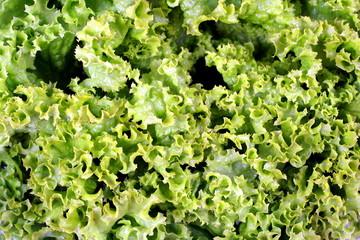 green crepe lettuce background