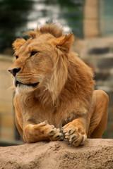 löwe-lion-leo
