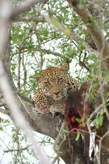 Wall Murals Panther Leopard in a tree with kill