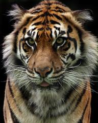Closeup Of A Sumatran Tiger