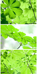 Leaves of a chestnut tree