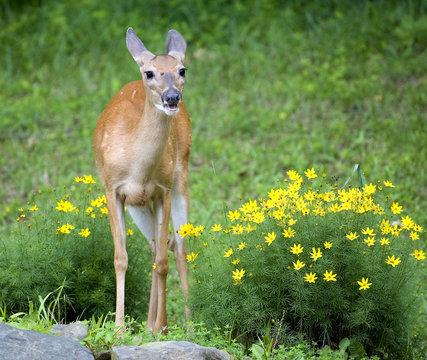 spring doe
