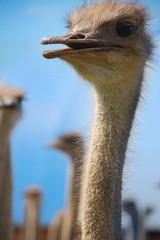 ostrich baby