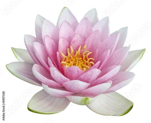 fleur de lotus sur fond blanc photo libre de droits sur la banque d 39 images image. Black Bedroom Furniture Sets. Home Design Ideas
