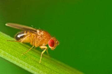 Male fruit fly (Drosophila Melanogaster) on a blade of grass