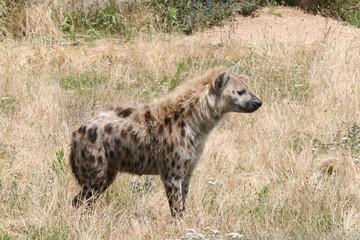 Photo sur Plexiglas Hyène hyène