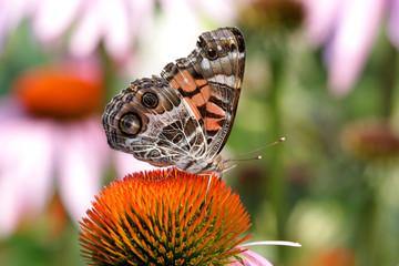 Fotoväggar - American Painted Lady Butterfly (Vanessa virginiensis)